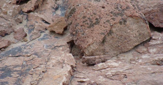 una langosta en un desierto