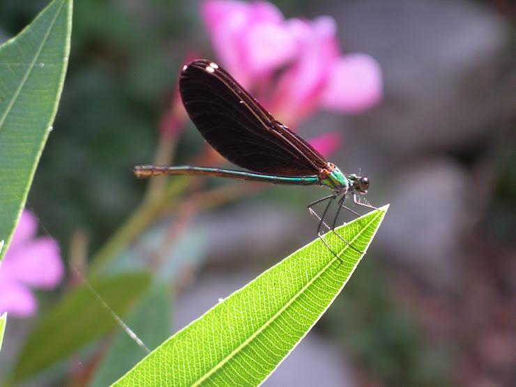 Helikopter Böceği