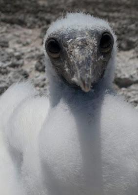 Baby Booby, Clipperton Island