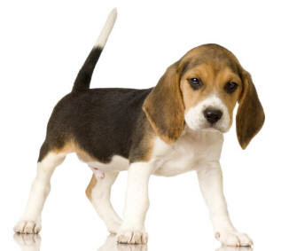 beagle dogs puppies picture