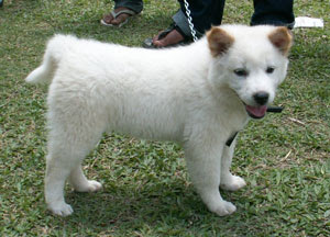 white kintamani puppy cute