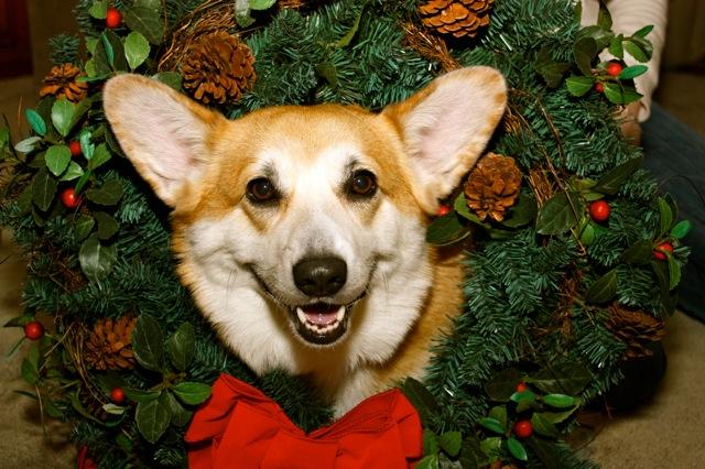 a perfectly pantaloony pembroke corgi christmas - Christmas Corgi