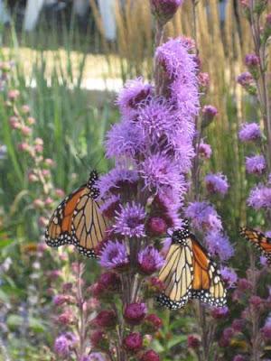 Purple blazing star flowers with orange monarch butterflies feeding