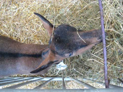 A brown goat eating hay