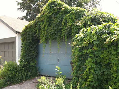 Garage completely covered in green cascading vines