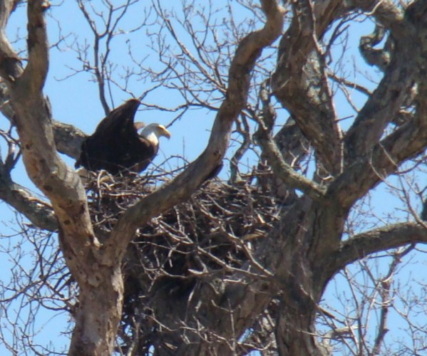 Adult Bald Eagle on Nest # HI-08-02