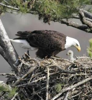 Bald Eagle & Hatchling nest HI-06-01