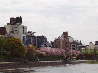 京阪三条駅近辺・鴨川の桜