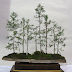 29+ Amazing Bonsai Trees For Sale Images