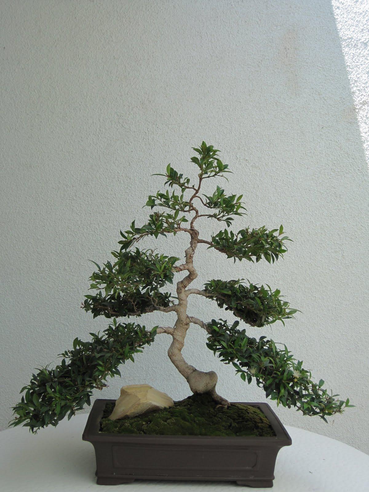 ShoChiku Bai Bonsai Club Bonsai Trees For Sale