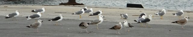 Five Gull taxa together