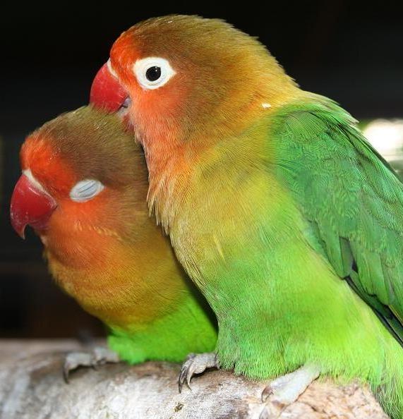 Burung Parkit Cantik Dan Eksotis