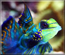 Mandarin Goby