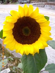Bunga Matahari..