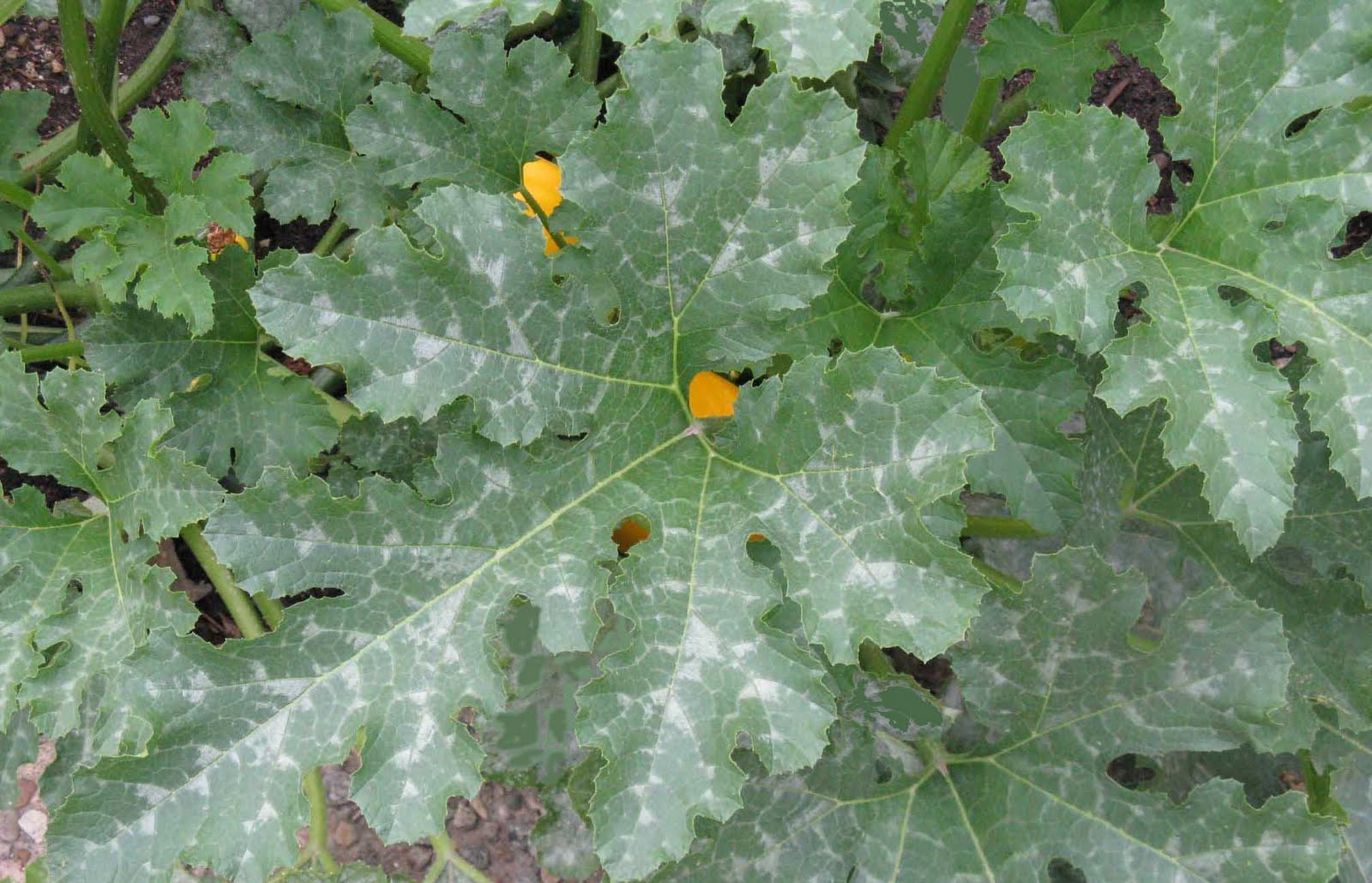 Front range food gardener telling powdery mildew by its spots ive found that some people mistake the normal color variation in leaves for the disease many squash have silver white mightylinksfo