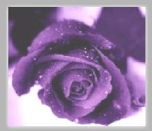 Rosa pùrpura