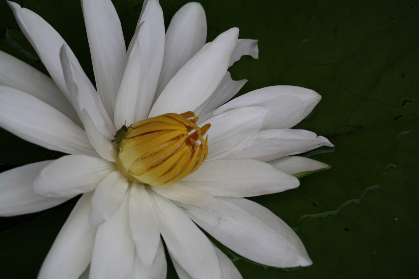 Photography And Beyond Lotus National Flower Of India