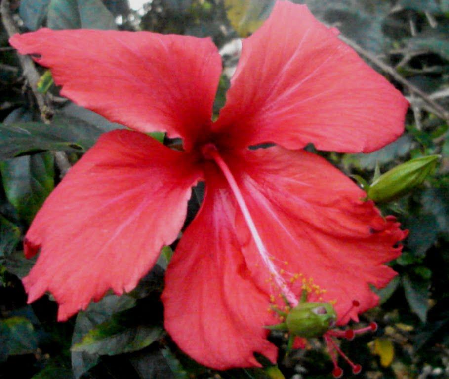 Favoritos Caliandra do Cerrado: Olhando uma flor hibiscus BE64