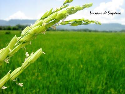 Flor do arroz