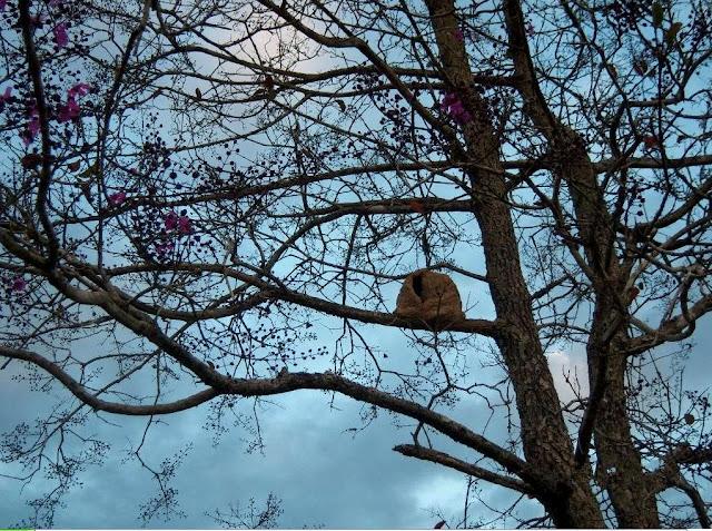 árvore cega-machado com casinha do João-de-Barro_Cerrado do Centro Oeste