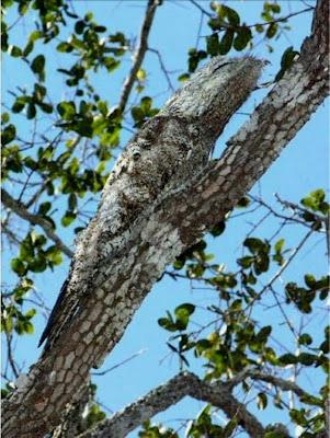 Urutau ave-fantasma, durante o dia permanece totalmente imóvel sobre um tronco