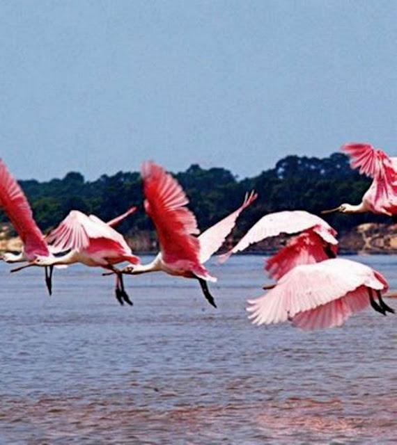 Garça Rosa-Rio Araguaia
