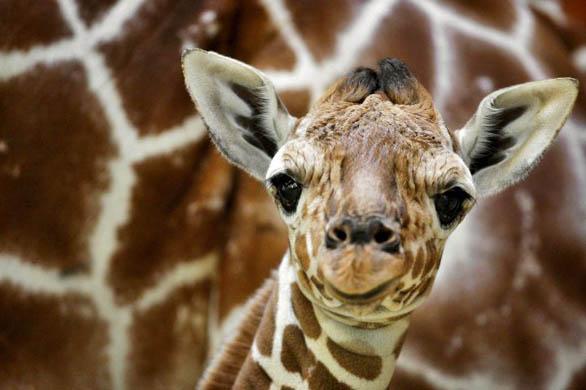 http://2.bp.blogspot.com/_kCBnP-Xr-bI/TUtlnKWoLXI/AAAAAAAAAec/RSuPMQCZ_PM/s1600/giraffe2.jpg