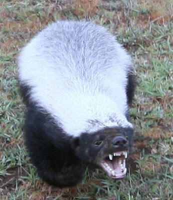 honey badger vs. honey badger vs. honey badger