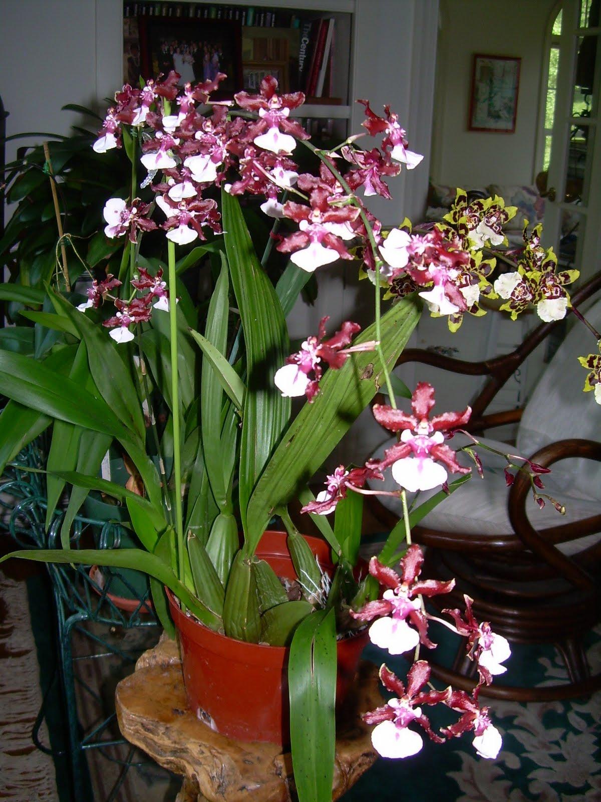 A And B Ln Orchids Oncidium Mord Cross Dscn4536 Jpg