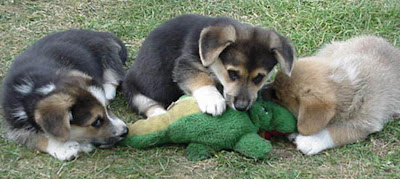 Cães atacam ferozmente jacaré