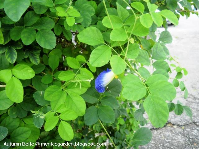 Host Plants in Indiana - Plant and Pest Diagnostic Laboratory  Purdue    Clitoria Ternatea Seed
