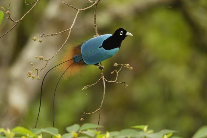 Oiseaux de paradis images d 39 ici et d 39 ailleurs for Houpette oiseau