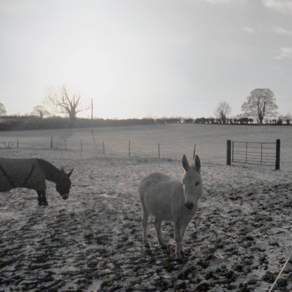 donkeys in a snowy field