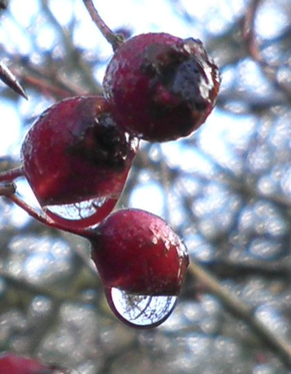 water droplets on hawthorn berries