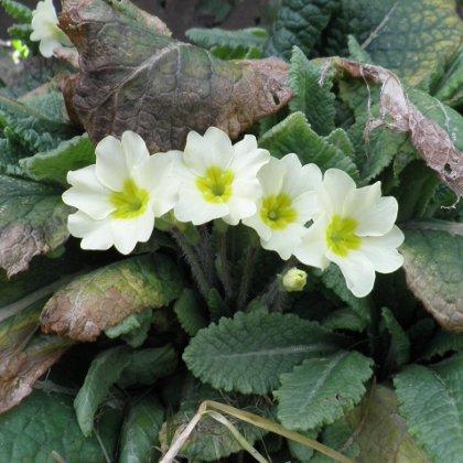 Primrose, Primula vulgaris