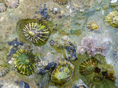 Common Limpet, Patella vulgata