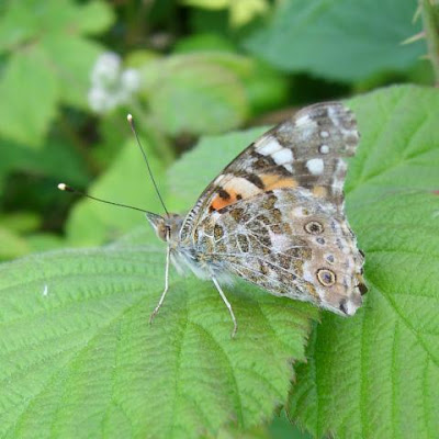 butterfly, painted lady, vanessa cardui