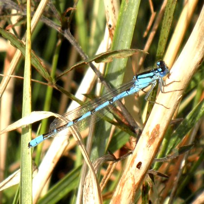 dragonfly or damselfly?