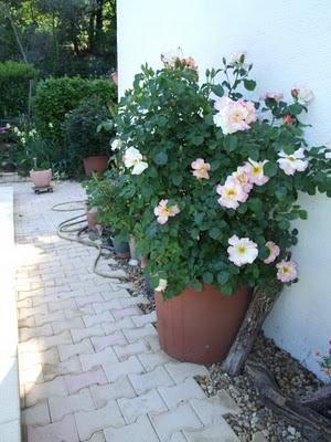 La passion des rosiers la p pini re fil roses cultiver for Comment arroser un rosier en pot