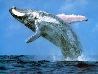 humpback whale, free and breaching for sheer joy