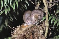 native rats raiding a nest