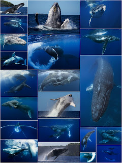 collage of Tony Wu's beautiful whale photographs