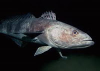 Antarctic toothfish - an ugly lil sucker