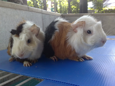Marmut Saya Farm | Peternakan Marmut Hias | Peternakan Guinea Pig