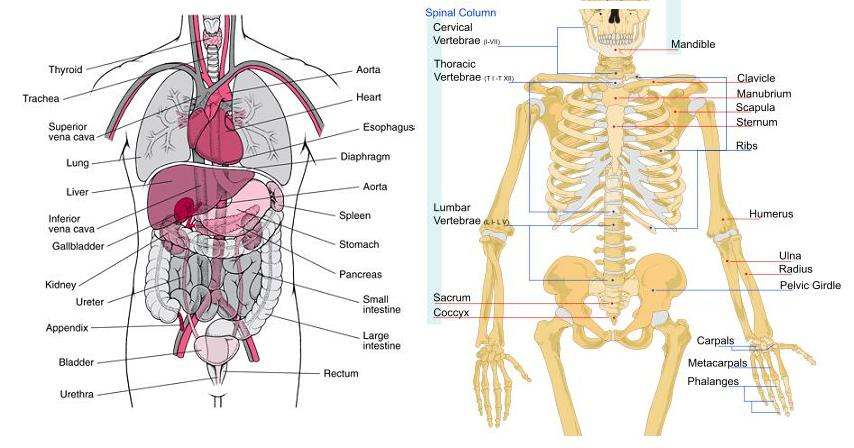 below. One shows the layout of the internal organs of the body