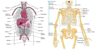 Human+body+diagram+with+organs