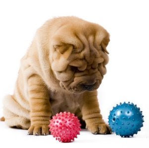 Chinese Shar-Pei - SharPei Popular is Dog Breeds.....