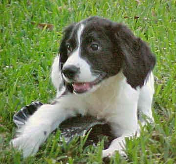 Pictures and Photos English Springer Spaniel Puppies