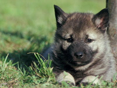 The most friendly dog is the Norwegian Elkhound....