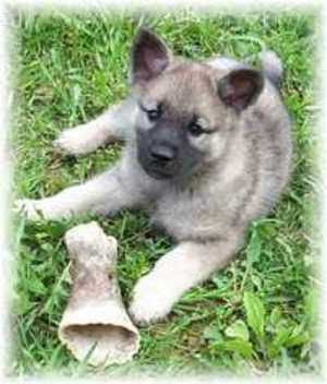On Sale Cheap Norwegian Elkhound Dog!!! Buy Now